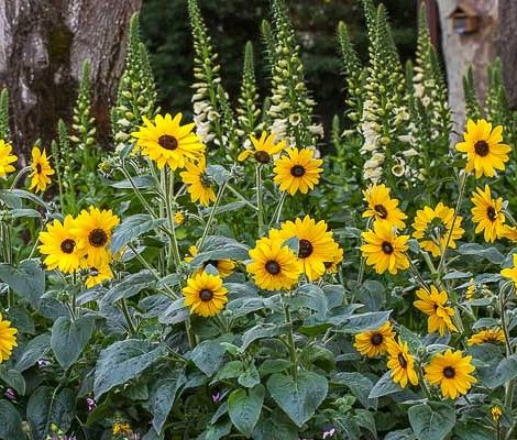 Sunfinity Hybrid Sunflower Continuous Blooming Spring To Fall Producing 50 100 3 4 Flowers On 3 4 Plants Which Are 2 Planting Sunflowers Plants Flower Seeds