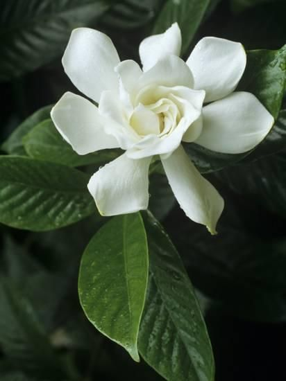 Gardenia Or Cape Jasmine Flower Gardenia Jasminoides Jasmine Flower Most Beautiful Flowers Gardenia