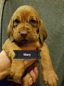 Gorgeous Tan Morkie Puppy 4 Sale Maltese X Yorkie For Sale