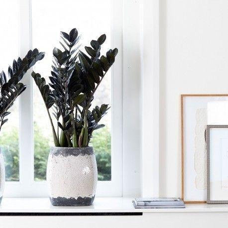 Zamiokulkas Zamiolistny Raven Czarnolistny Zielony Parapet House Plants Plant Life Plants