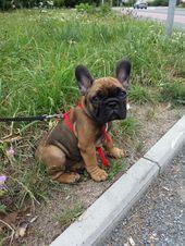 the dailyfrenchie ,  #dailyfrenchie #dogsandpuppiesbulldog