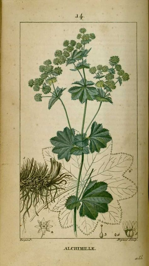 Img Dessins Gravures De Plantes Medicinales Alchimille Pied De