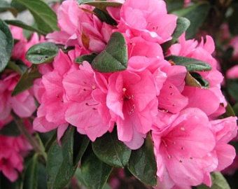 Azalea Formosa Etsy In 2020 Azalea Flower Early Spring Flowers Flower Farmer