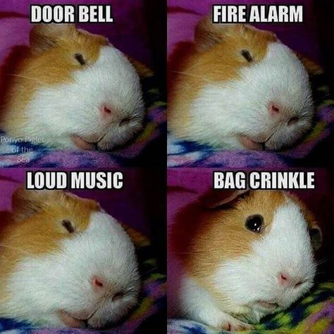 Buy The Right Size Guinea Pig Cage. Photo by maskarade Purchasing a guinea pig cage in a pet shop is unfortunately a good way to ensure that it is in fact too small for your pet's needs. Animal Jokes, Funny Animal Memes, Funny Animal Pictures, Funny Memes, Farm Pictures, Pet Memes, Funny Cartoons, Baby Guinea Pigs, Guinea Pig Care