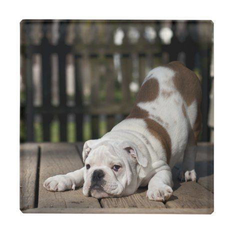 English Bulldog Puppy Glass Coaster Zazzle Com Bulldog Puppies