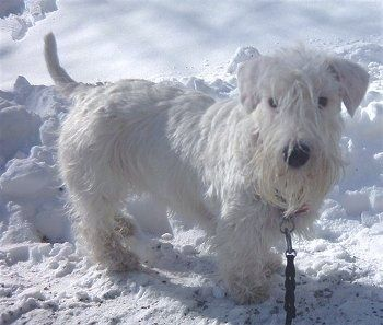 Side View A White Sealyham Terrier Dog Is Standing On Snow And It Is Looking Forward It Has Longer Hair On In 2020 Sealyham Terrier Terrier Dog Breeds Terrier Dogs