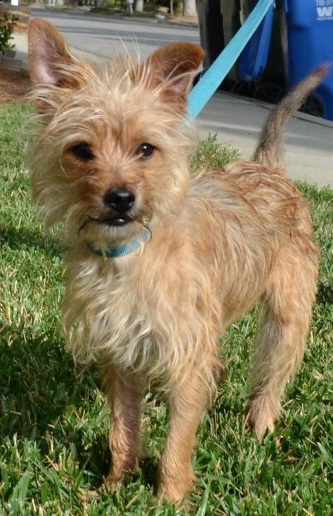 Meet Lucky A Petfinder Adoptable Cairn Terrier Dog Simi Valley