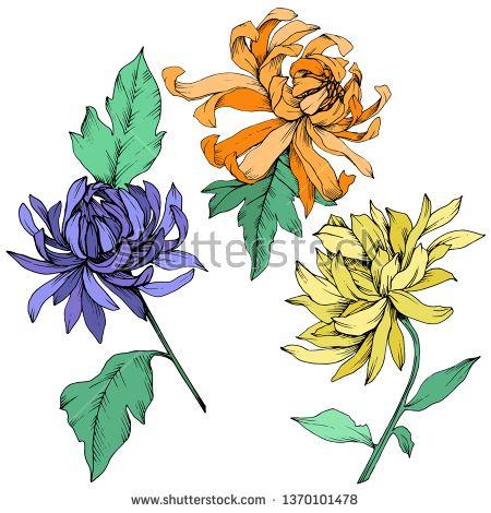Stock Vector Vector Yellow Orange And Blue Chrysanthemum Floral Botanical Flowers Wild Spring Leaf Flower Illustration Floral Stock Images Botanical Flowers