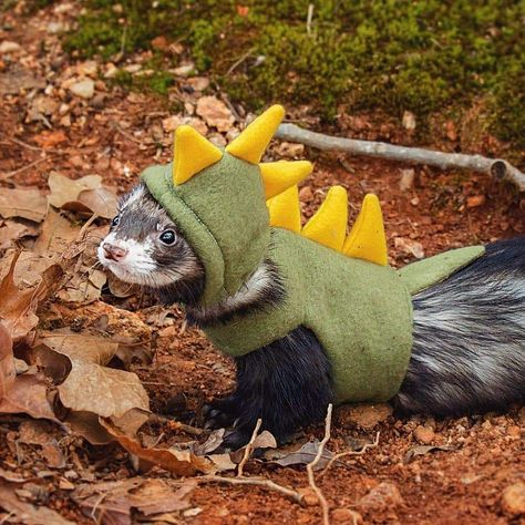 Feb 2020 - Looking for information about ferret costumes idea? Here are 11 of the best ferret costumes we've seen so far Ferrets Care, Baby Ferrets, Funny Ferrets, Pet Ferret, Chinchilla Cage, Baby Dogs, Cute Little Animals, Cute Funny Animals, Ferret Clothes