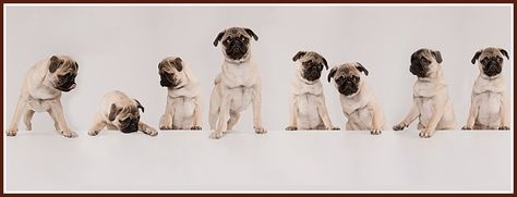 Pug Facebook Cover Photos For Your Timeline