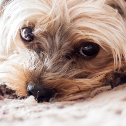 Dog Secrets The Fastest Way To Your Dream Yorkshire Terrier Yorkshire Terrier Yorkshiret Yorkshire Terrier Puppies Yorkshire Terrier Yorkshire Terrier Dog
