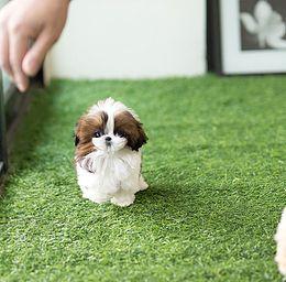 Teacup Shih Tzu For Sale Affordable Prices Shih Tzu Shih Tzu For Sale Shih Tzu Puppy