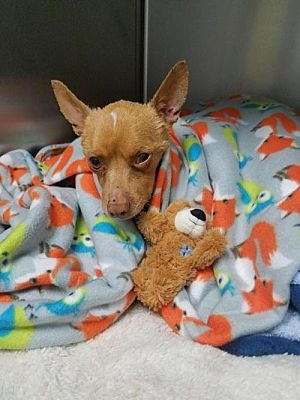 Pictures Of Ralphy A Chihuahua For Adoption In Dallas Ga Who