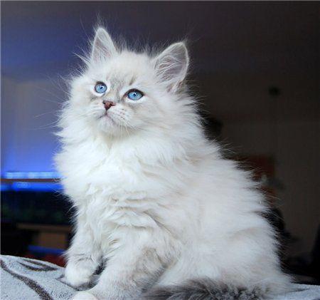 Katzenwitzig In 2020 Ragdoll Cat Cats Mr Cat