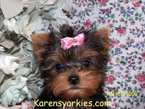 Yorkie Puppies For Sale Yorkies For Sale Yorky Breeder Yorky Puppies Yorkshire Terrier Yorks Yorkie Puppy For Sale Yorkie Puppy Yorkshire Terrier For Sale