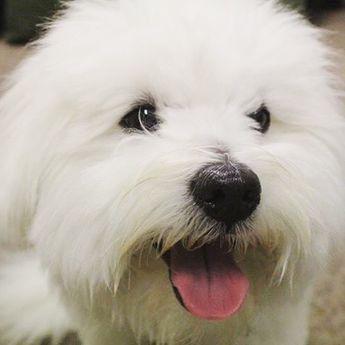 Meet The Ultimate Companion Dog The Coton De Tulear Coton De