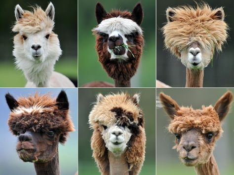 Llamas Now To Pick My Next Haircut Alpaka Lustig