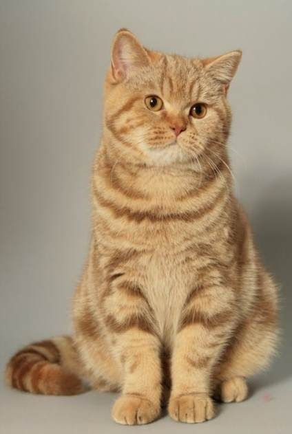 19 Trendy Cats British Shorthair Red Cats Tabby Cat Cat