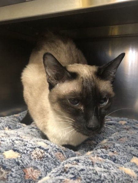 Siamese Cat For Adoption In Manchester New Hampshire Deedee In Manchester New Hampshire In 2020 Cat Adoption Cats Siamese Rescue