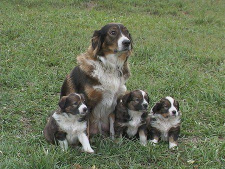 172 Best English Shepherd Dog Images Dog Photos English Shepherd