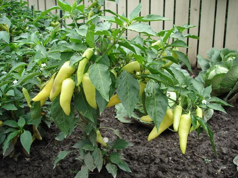 Growing Peppers Are One Of The Easiest And Most Satisfying Vegetable Plants To Grow This Sweet Banana Pepper Plant Is An All America Selection
