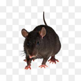 Rat Mouse Png Rat Mouse Transparent Clipart Free Download Hamster Rat Mouse Rodent Pet Pet Rat Mouse Rat Animals Animal Planet