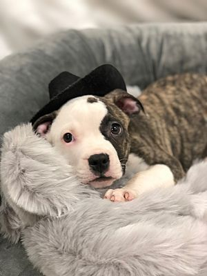 Detroit Mi Terrier Unknown Type Medium Meet Joseph A Pet