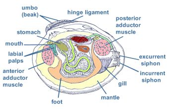 Biology Clam Diagram - Block And Schematic Diagrams •