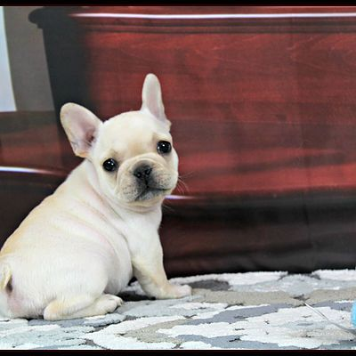 French Bulldog Puppies For Sale In Texas Frenchie Puppy French Bulldog Puppies French Bulldog Bulldog Puppies For Sale