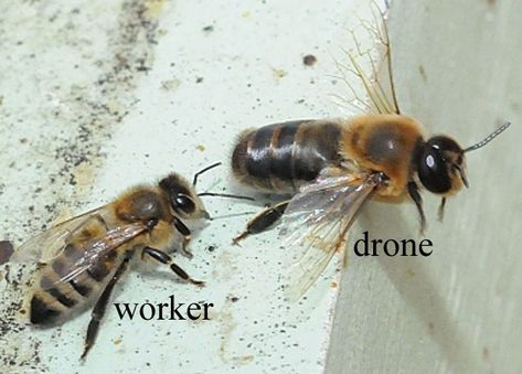 Did You Know The Male Honey Bee Drone Is Larger Than The