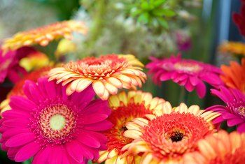 How To Care For Gerbera Daisies Inside In 2020 Gerbera Daisy Gerbera Gerbera Jamesonii