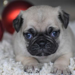 Wesley Pug Puppy 579825 Puppyspot Pug Puppies Pug Puppies For