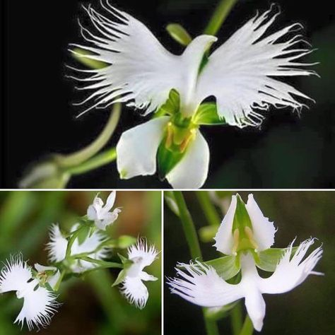 This Flower Is Found In Panama And It Blooms Only During The Pentecost Season Orchid Flower Orchids Ghost Orchid