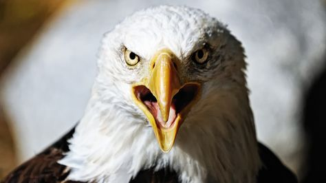 Bird lovers to sue feds for letting wind farms kill eagles