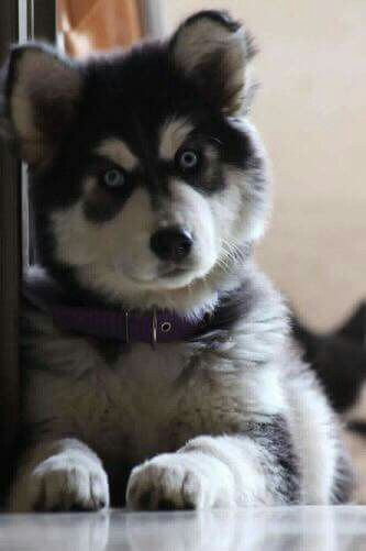 Pin By Melissa Jackson On Huskies Pinterest