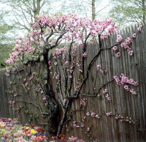 Pecher En Eventail Avec Images Idees Jardin Jardins Espalier