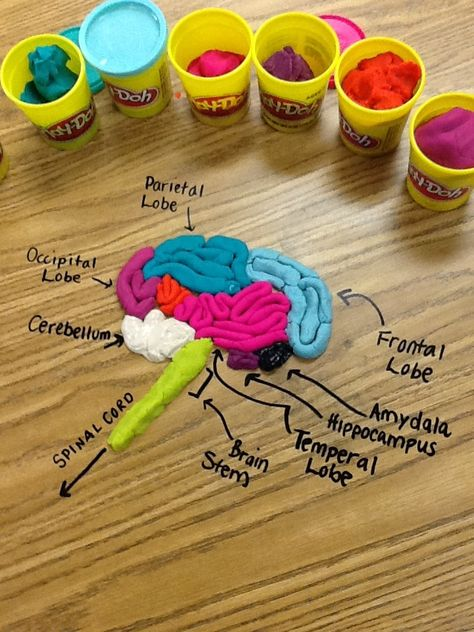 Erin's Play-Doh Brain Model by erin 6th Grade Science, Brain Science, Preschool Science, Science Experiments Kids, Science Lessons, Craft Activities For Kids, Teaching Science, Science For Kids, Science Projects