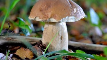 Essbare Pilze Sammeln Und Erkennen Essbare Pilze Pilze Pilze Sammeln