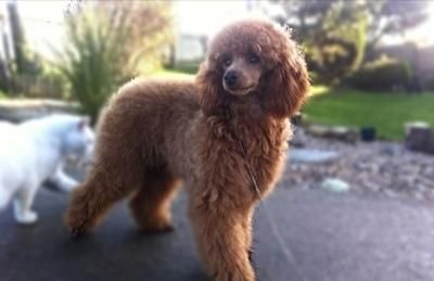 Kc Reg Miniature Poodle Puppies For Sale In Mablethorpe