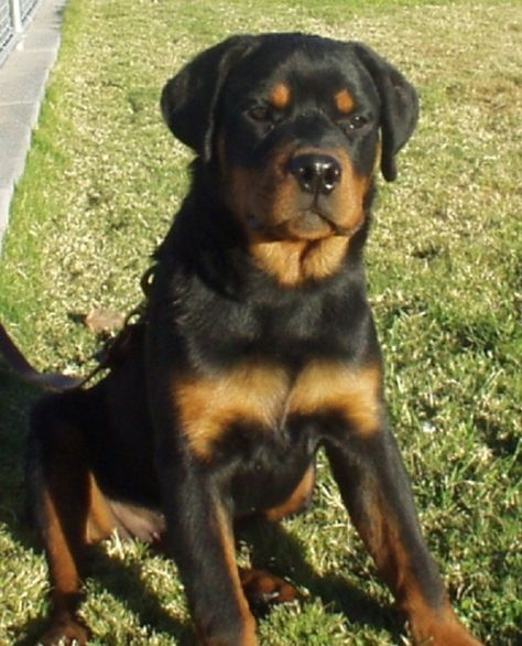 Pictures Of Rottweiler Puppies 5 Months Old Zoe Fans Blog