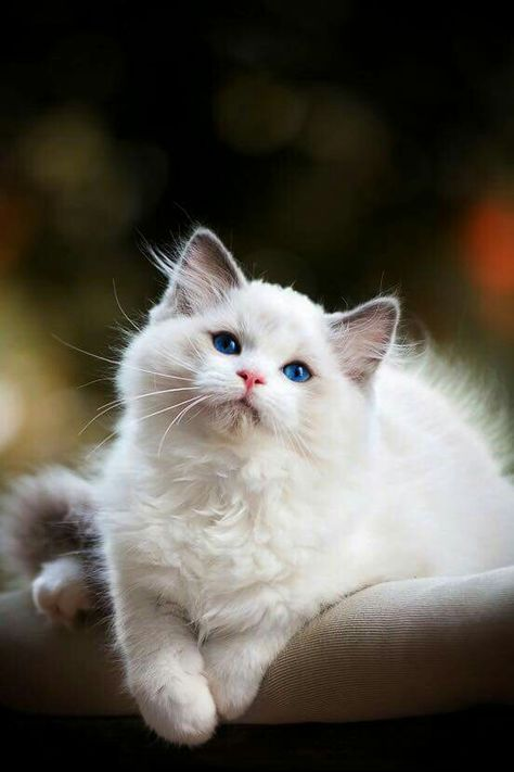 New Cats White Blue Eyes Sweets 47 Ideas In 2020 Cute Cats Pretty Cats Cats