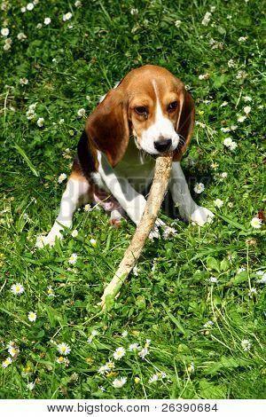 Pin On Beagle Puppies