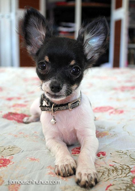 Bingo The Brave Chihuahuas Chihuahua New York York