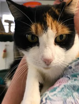San Leon Tx Domestic Shorthair Meet Astella A Pet For Adoption Pet Adoption Cats And Kittens Animal Welfare Quote