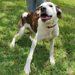 Panama City Fl English Bulldog Meet Quinn A Pet For Adoption With Images Panama City Panama Pet Adoption Dog Adoption