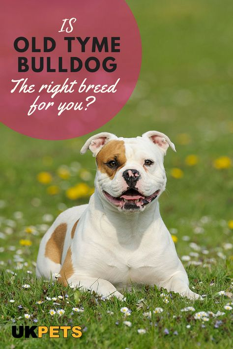 The Old Tyme Bulldog May Look Rough Sturdy Muscular And Big