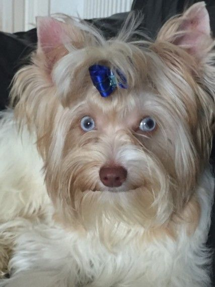 Yorkshire Terrier Biewer Glasgow Lanarkshire Pets4homes Yorkshire Terrier Toy Dog Breeds Tiny Dog Breeds