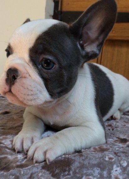 French Bulldog Pupsbeautiful Nottingham Nottinghamshire