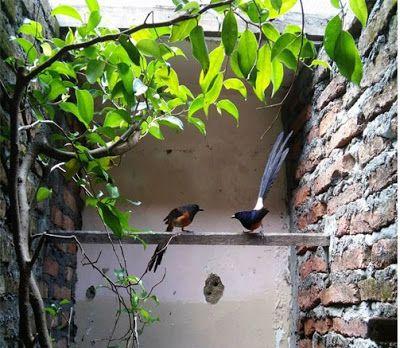 Cara Ternak Burung Murai Batu Secara Poligami Dengan Gambar Murai Burung Peternakan