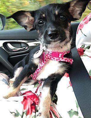 Wethersfield Ct Yorkie Yorkshire Terrier Meet Cracker A Dog For Adoption Yorkshireterrier Yorkshire Terrier Yorkie Yorkshire Terrier Terrier